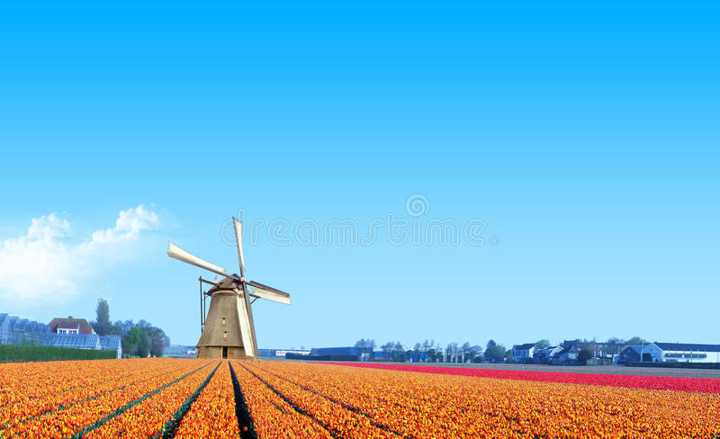 Windmill at the Yellow Tulip Bulb Farm royalty free stock images