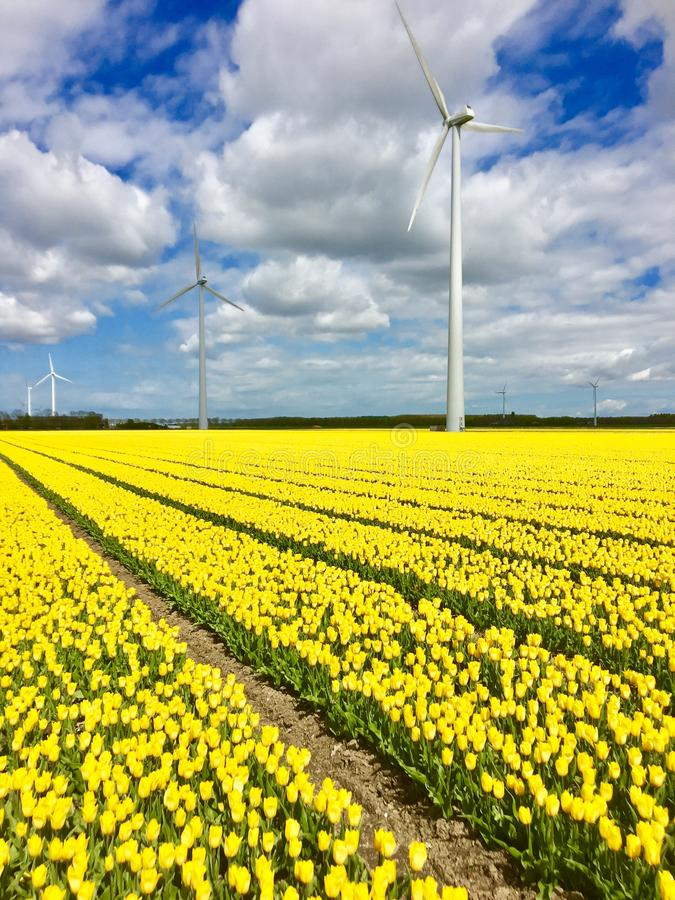Windmill and yellow tulips Flevoland. In spring the tulips are in Flevoland at the same spot as the windmills stock photography