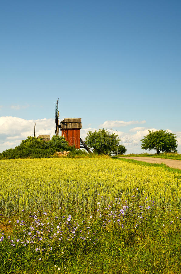 Windmills and field with chicory royalty free stock photo