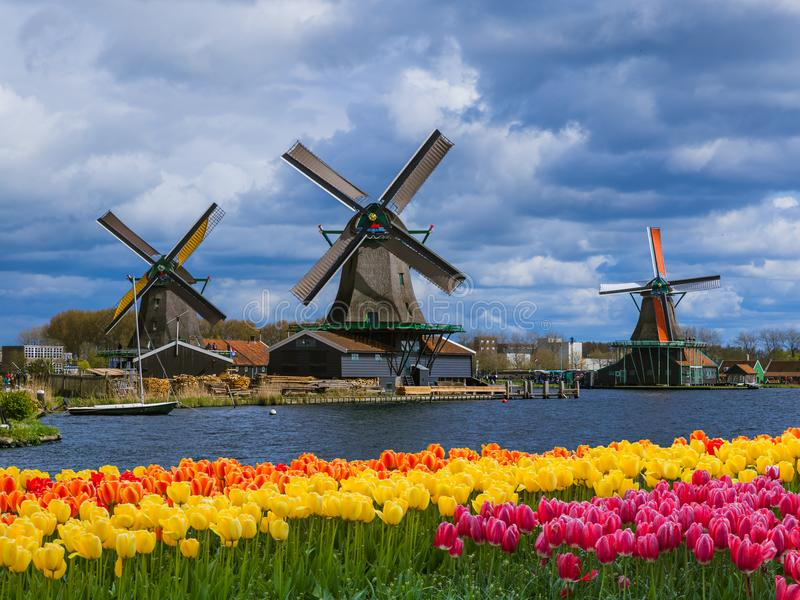 Windmills and flowers in Netherlands. Architecture background stock image