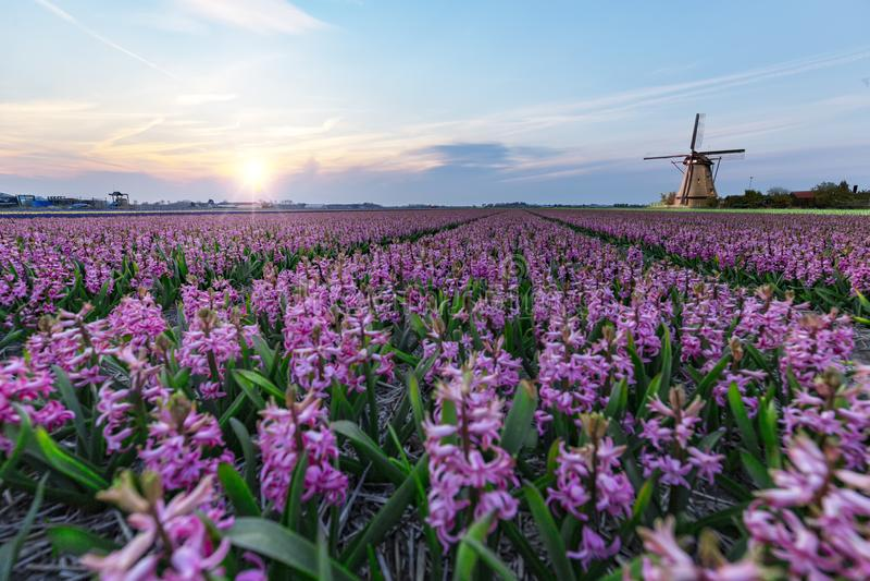 Windmolen bij het Landbouwbedrijf van de hyacintbol stock fotografie