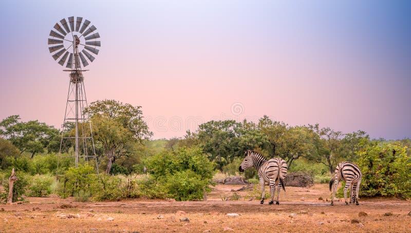 Windmolen bij waterhole met twee zebras het drinken stock afbeelding