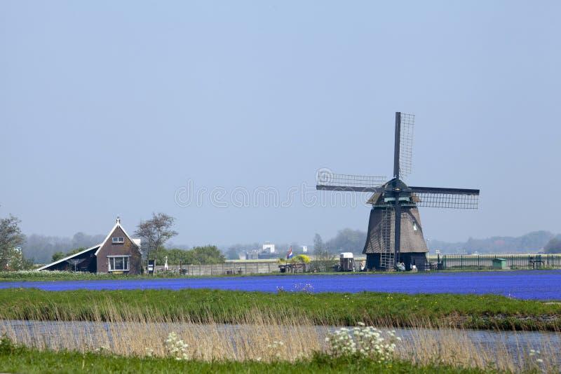 Windmolen en plattelandshuisje dichtbij het gebied van blauwe bloemen stock fotografie