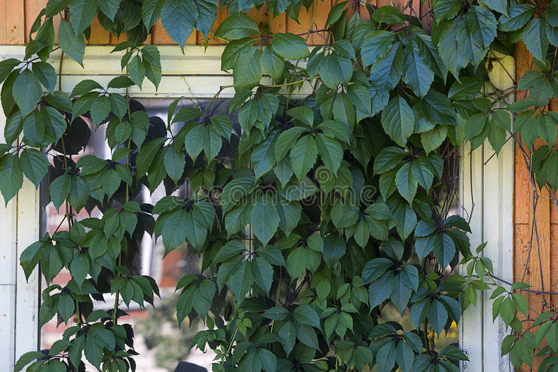 Window of building covered by plant royalty free stock photography