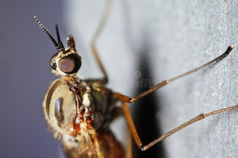 Download Window gnat (Anisopodidae) stock photo. Image of portrait - 25152316