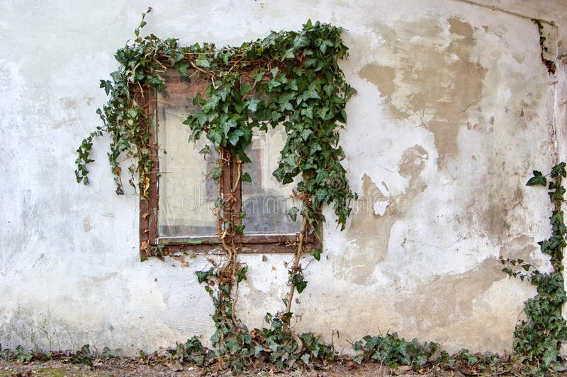 Window of old house overgrown with ivy stock photo