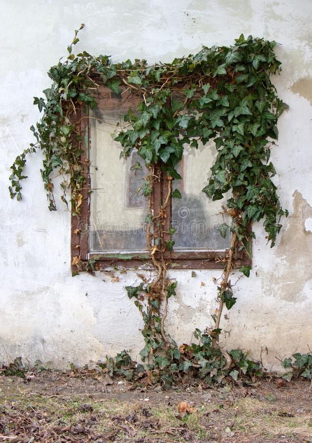Window overgrown by ivy, facade of old house stock images