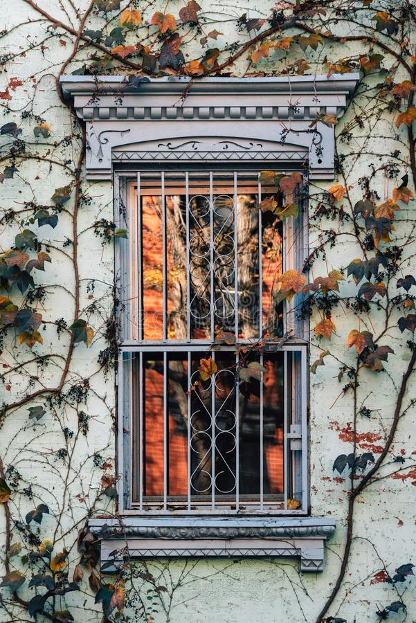 Window and vines with autumn color in the East Village, Manhattan, New York City stock photo
