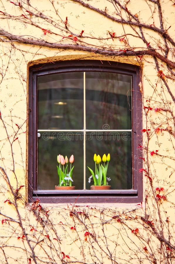 Window with vines royalty free stock photography