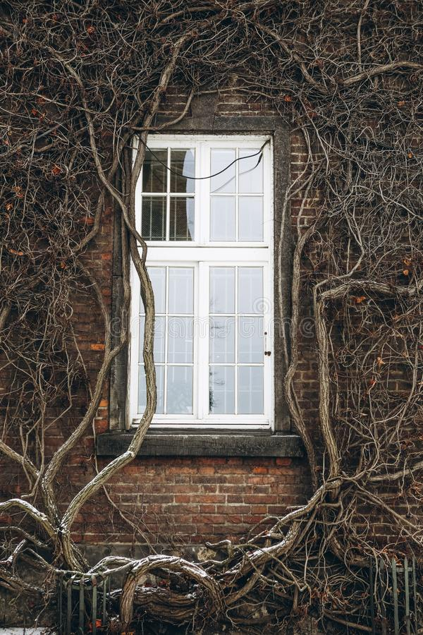 Window vintage brick building climbing plant wall. Window vintage brick building with climbing plant on the wall ancient texture stock photos