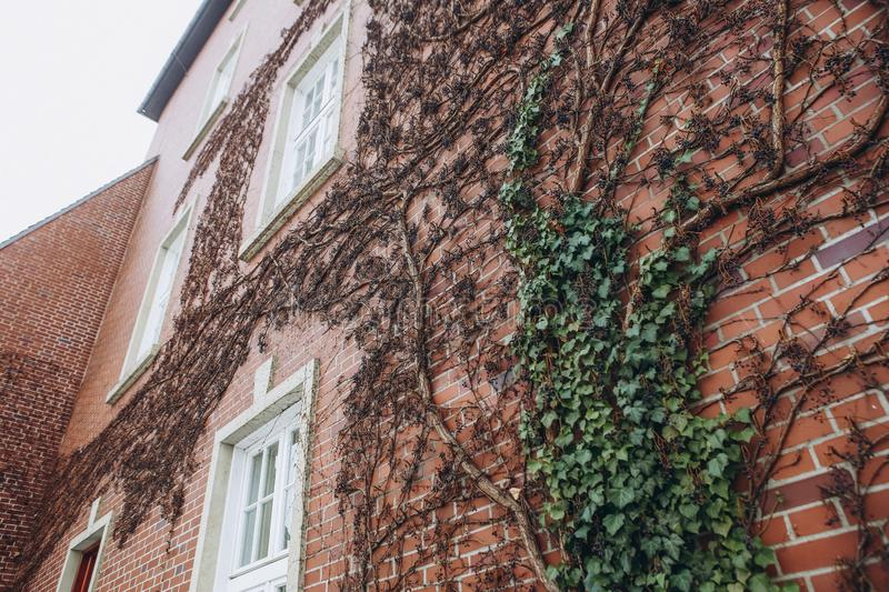Window vintage brick building climbing plant wall. Window vintage brick building with climbing plant on the wall ancient texture stock image