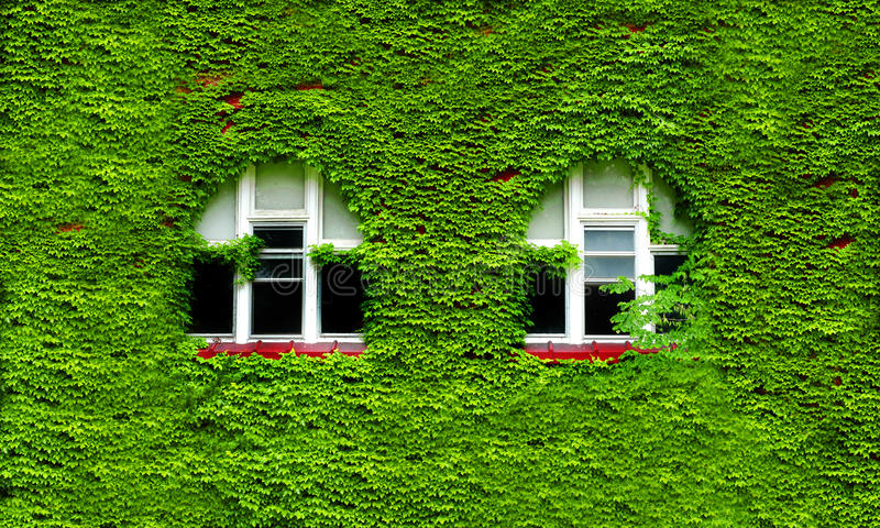 Windows και πράσινος κισσός στοκ φωτογραφία με δικαίωμα ελεύθερης χρήσης