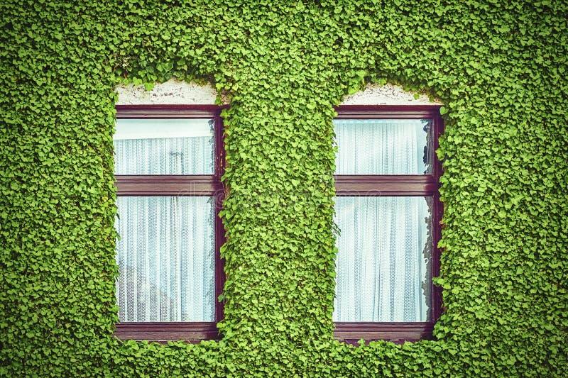 Windows entre hiedra foto de archivo libre de regalías