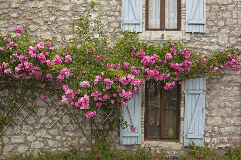 Windows and roses. Blooming roses on the wall of a country house of natural stone and pale blue window shutters royalty free stock photography
