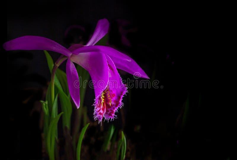 Windowsill orchid, pleione formosana on a black background. Closeup image of a windowsill orchid, pleione formosana, on a black background. Native to royalty free stock photo