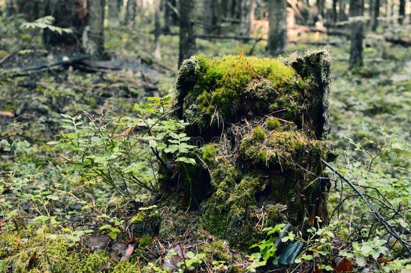 Windscherm, tuimelen-tumbled-down en de besnoeiingsbomen Stomp in het boshout van de de Zomerochtend stock foto