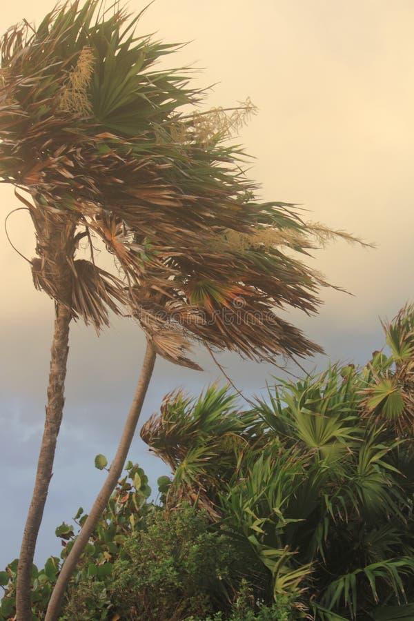 Windswept lynniga palmträd royaltyfri foto