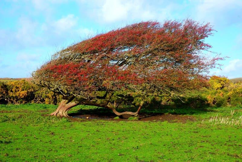 Windswept reifer roter Weißdornbeerenbusch, Crataegus monogyna in a stockbild