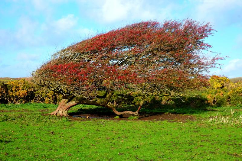 Windswept Ripe red hawthorn berry bush, Crataegus monogyna in a stock image