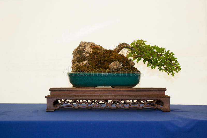 A windswept root over rock style hawthorn bonsai on a beautiful display table on show in Belfast Northern Ireland royalty free stock photo