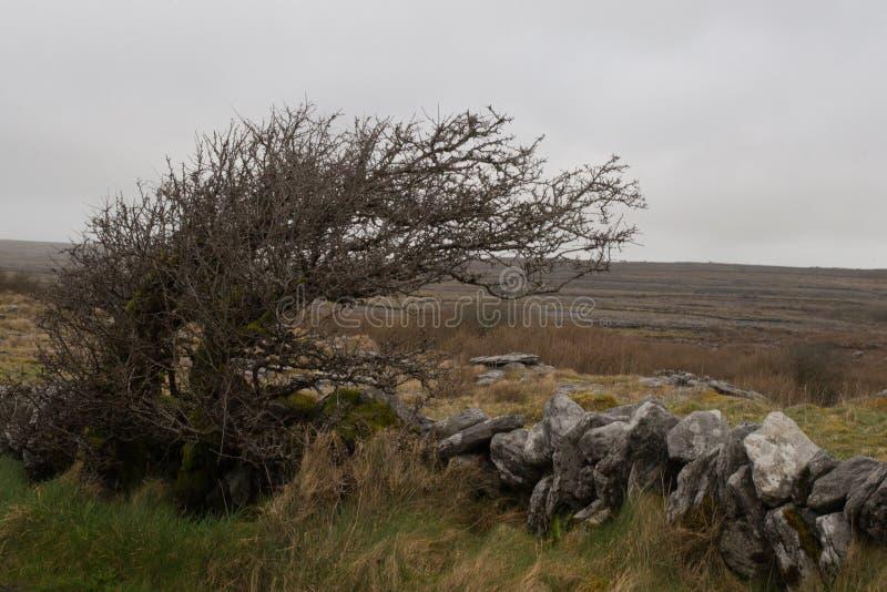 Windswept Strauch, Nationalpark Burren, Land Clare, Irland stockfotos