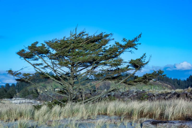 Tree in grassy beach dunes royalty free stock photography