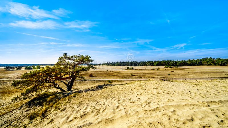 A windswept tree in the mini desert Beekhuizerzand in the Hoge Veluwe nature reserve stock photography