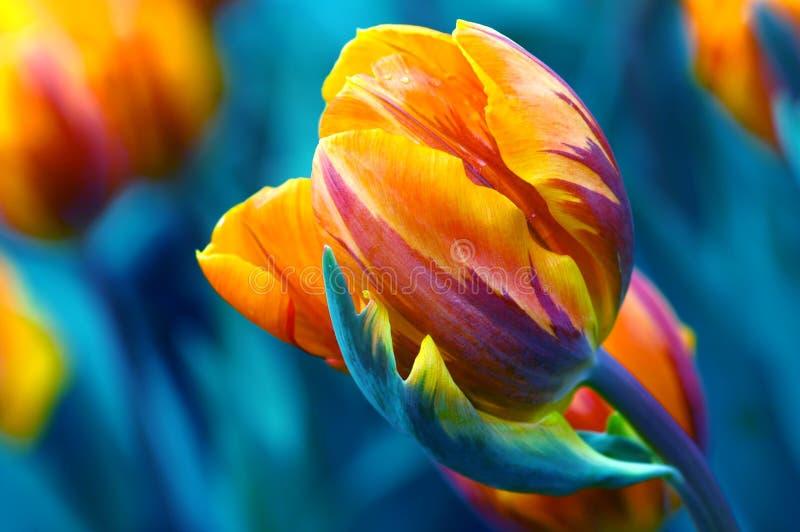 Windswept tulp royalty-vrije stock afbeeldingen