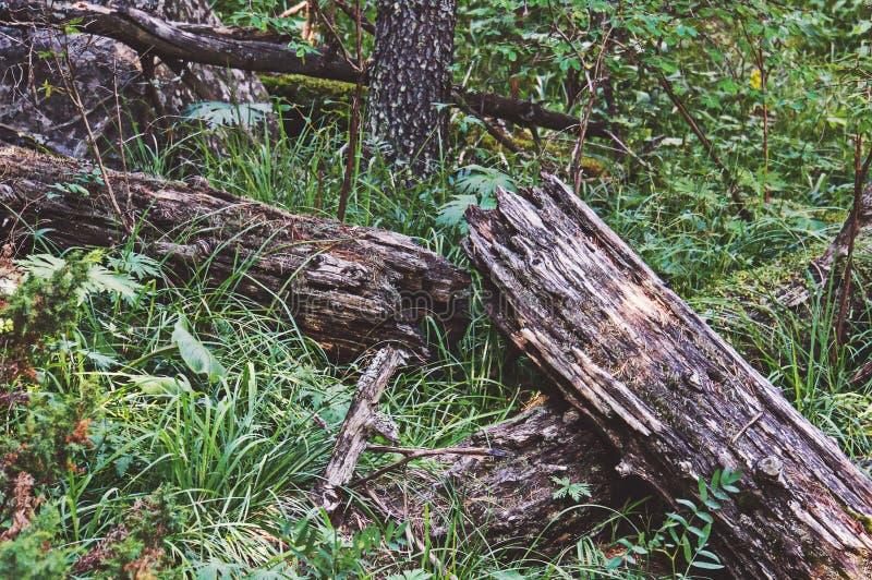 Windthrow, ventis et coupe-vent des arbres photographie stock
