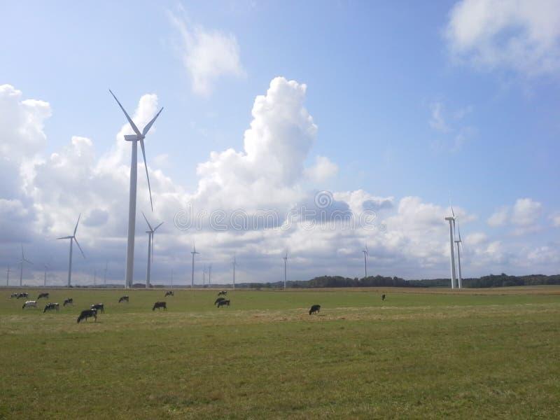 Windturbines y paisaje de las vacas imagen de archivo libre de regalías
