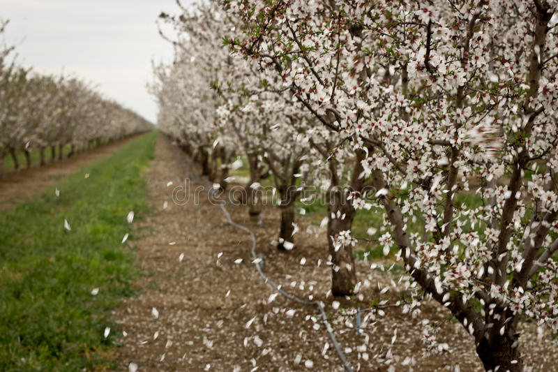 Windy Almond Orchard immagini stock