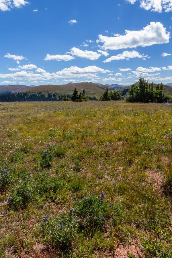Windy day, alpine meadows of Shrine Mountain Ridge, Colorado Rockies. Vertical image looking through the alpine meadows of Shrine Mountain Ridge in the Colorado royalty free stock image