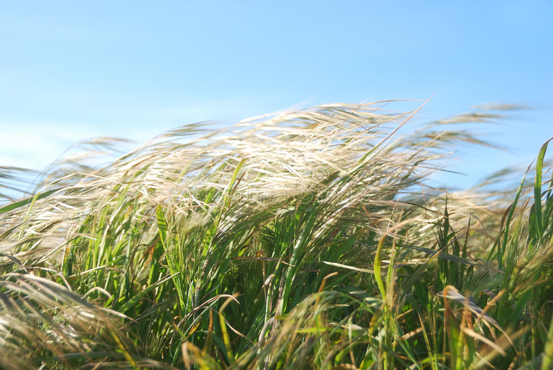 Windy Day Grass Royalty Free Stock Images Image 9071839