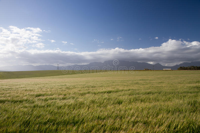 Windy wheat field royalty free stock photography