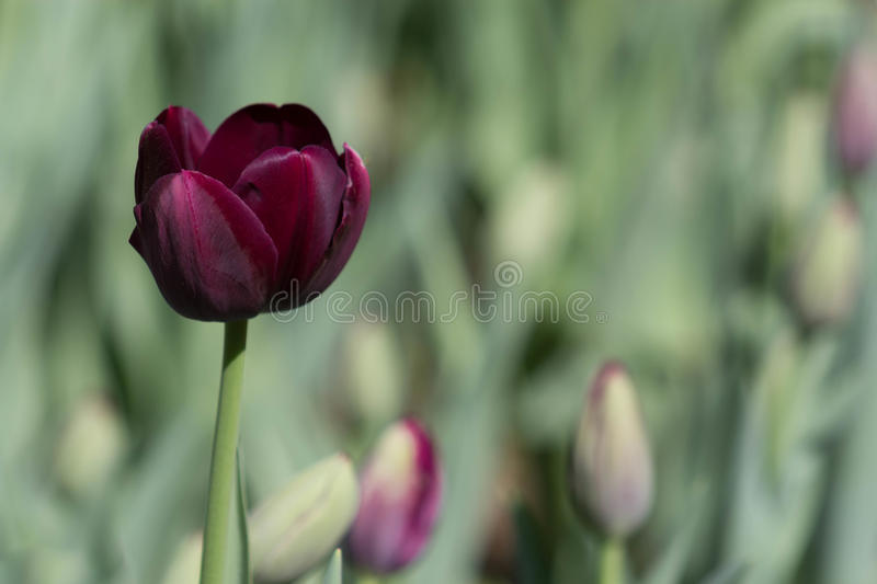 Wine colored Tulip royalty free stock images