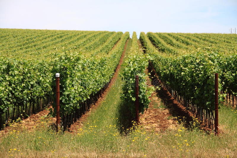 Wine Country Grape Plants Landscape royalty free stock photos