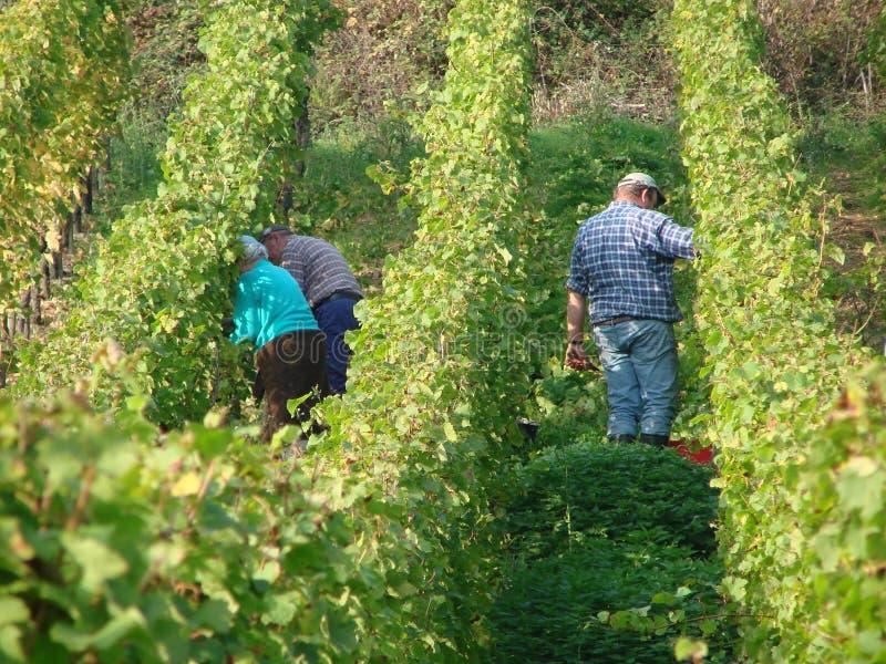 Wine fields in Moezel, Germany. People wandering among vineyard in Moezel, Germany royalty free stock photos