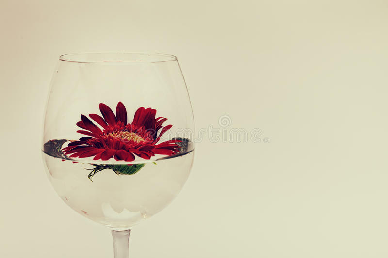 Wine glass with water and red gerbera stock photography