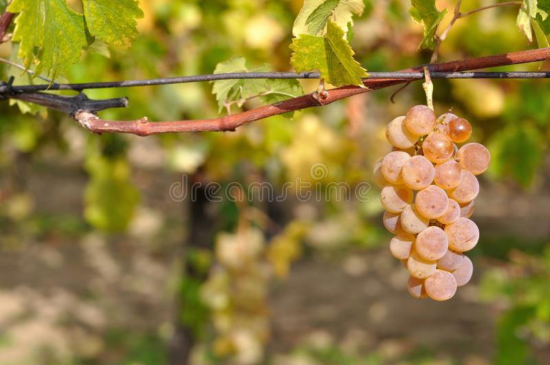 Wine grape with blurred natural background royalty free stock photo