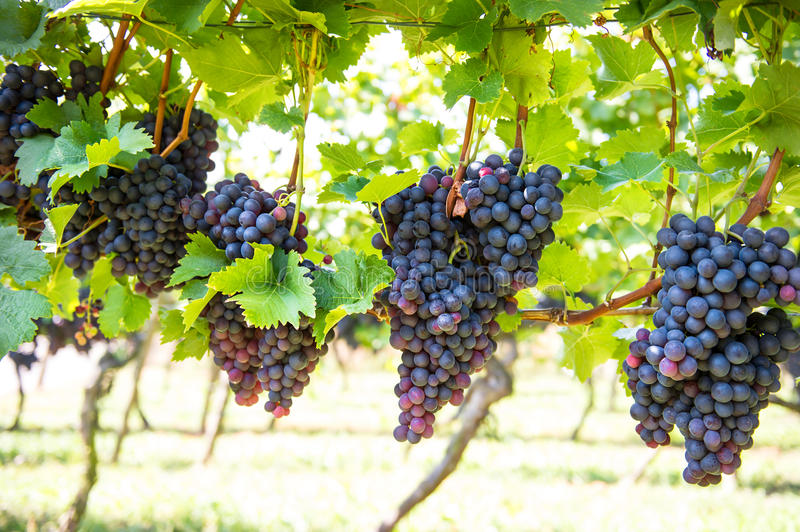 Wine grape plants in vineyard. Red grapes with green leaves royalty free stock photography