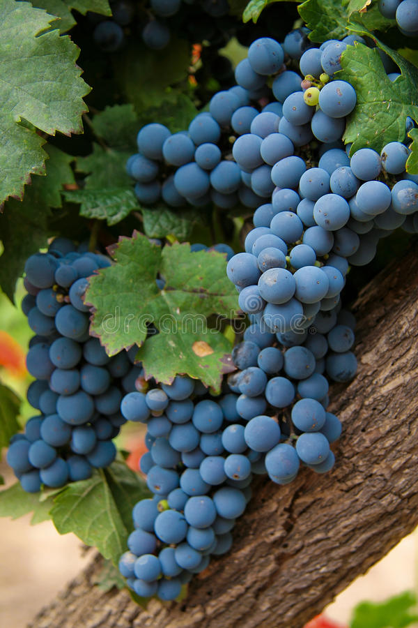 Download Wine Grapes stock photo. Image of growth, vertical, grape - 12550864