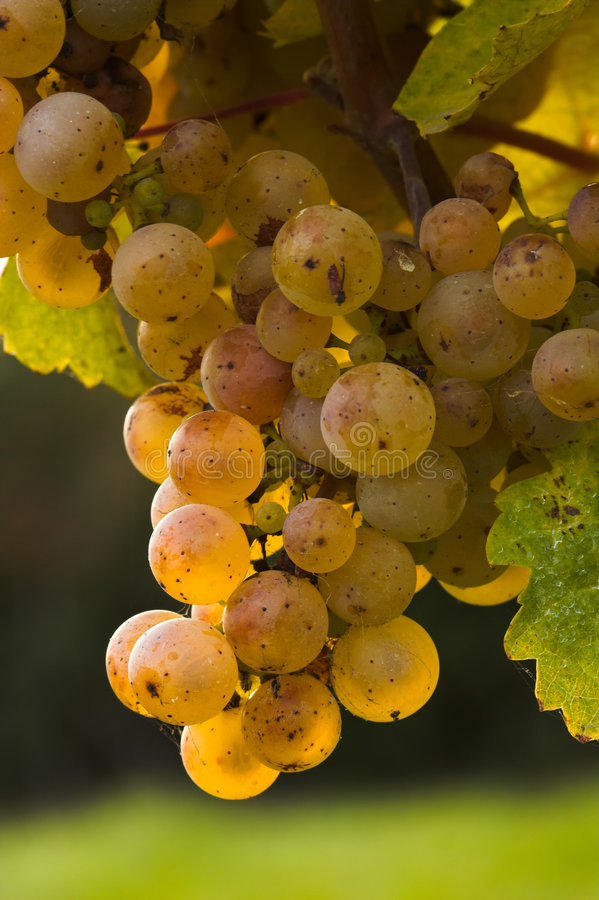 Wine grapes. Ripe wine grapes hanging on the vine royalty free stock photos