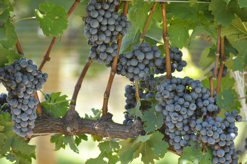 Download Wine Grapes stock image. Image of grapes, nature, grape - 26776673