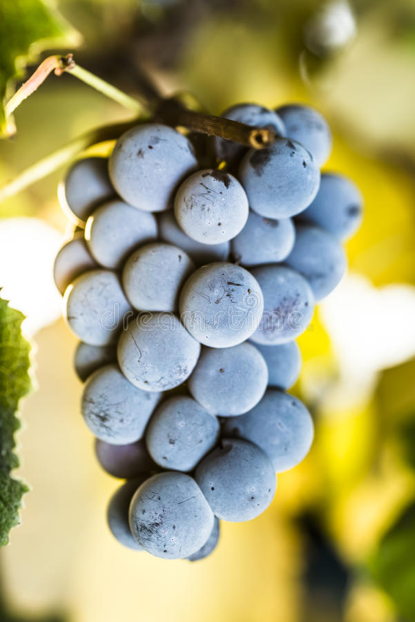 Download Wine grapes stock photo. Image of fruits, bunch, blue - 26932856
