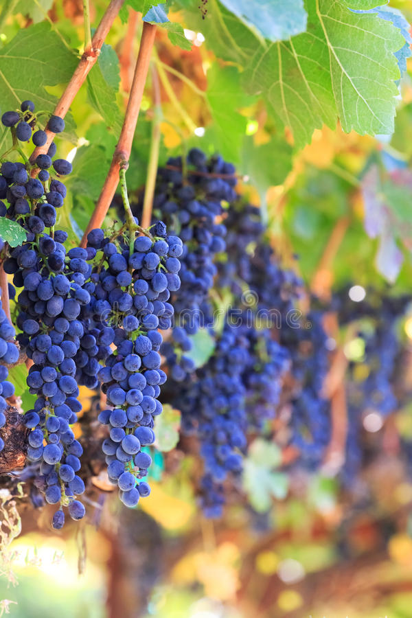 Download Wine grapes stock image. Image of rows, grapes, winery - 27097161