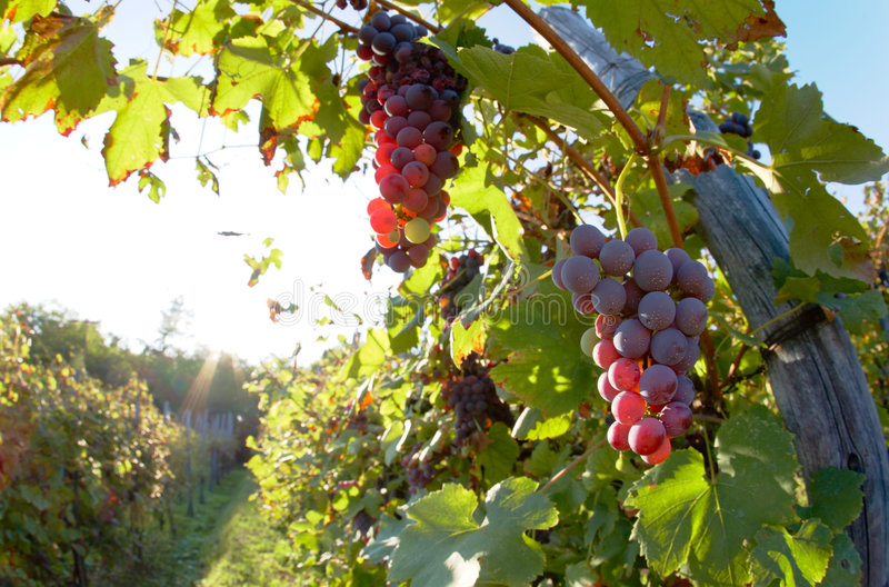 Wine grapes. Close view of red grapes (Nebbiolo grape varieties), Piedmont hills, north Italy stock images