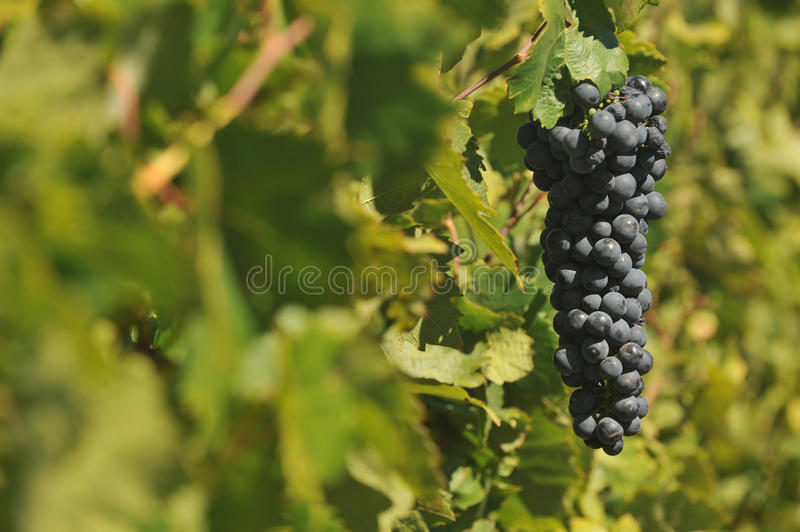 Download Wine Grapes Growing On The Vine Stock Photo - Image: 26629190