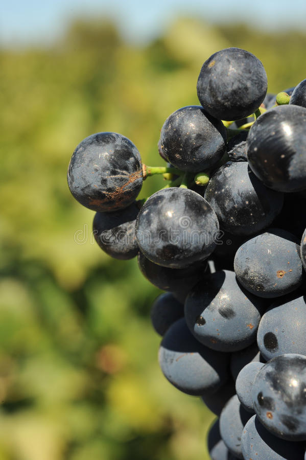 Download Wine Grapes Growing On The Vine Stock Photo - Image: 26629202