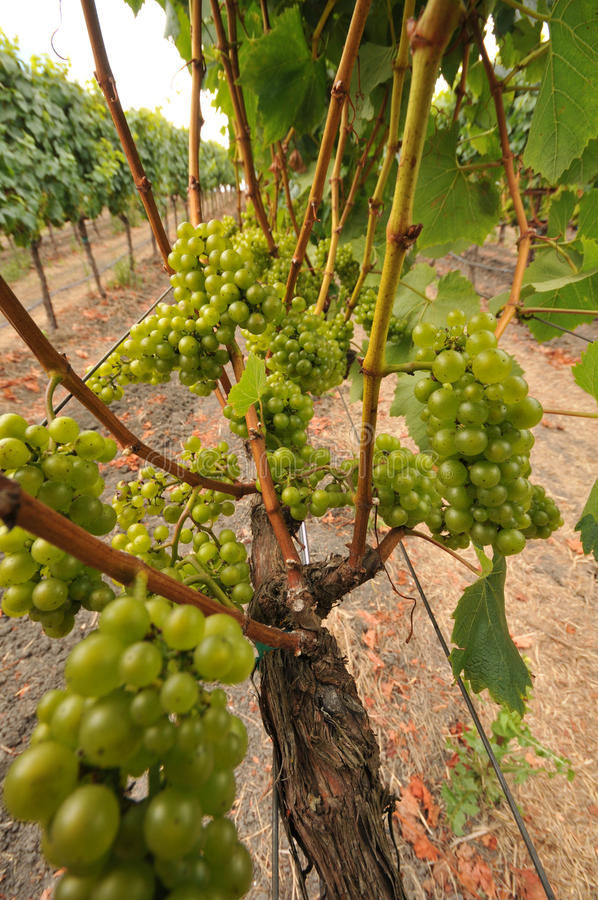 Download Wine Grapes Growing On A Vine In Field Stock Image - Image: 20797641