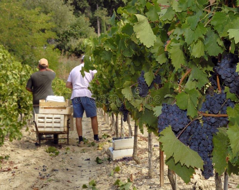 Wine grapes harvest stock image